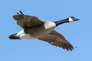 Canada-Goose-PhotosCom-139956551-Janet-Forjan-Freedman-676x450